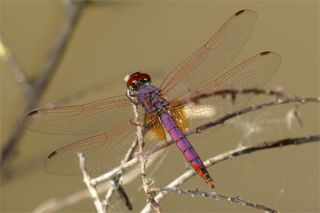 A beautiful Violet Dropwing dragonfly basks in the sunshine