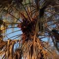 Doum Palm tree.