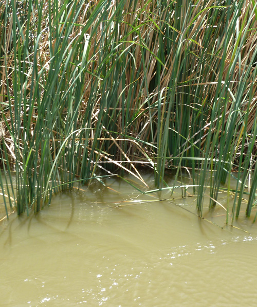 Healthy Typha bulrushes provide habitat for many different species
