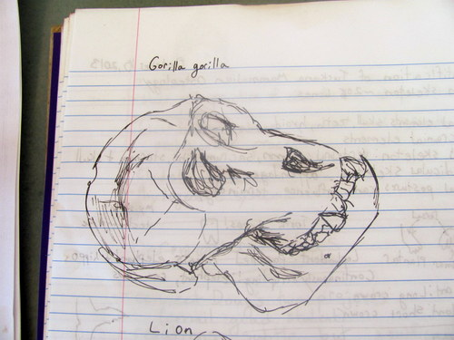 Beautiful Gorilla skull drawn by Evelyn Glaze
