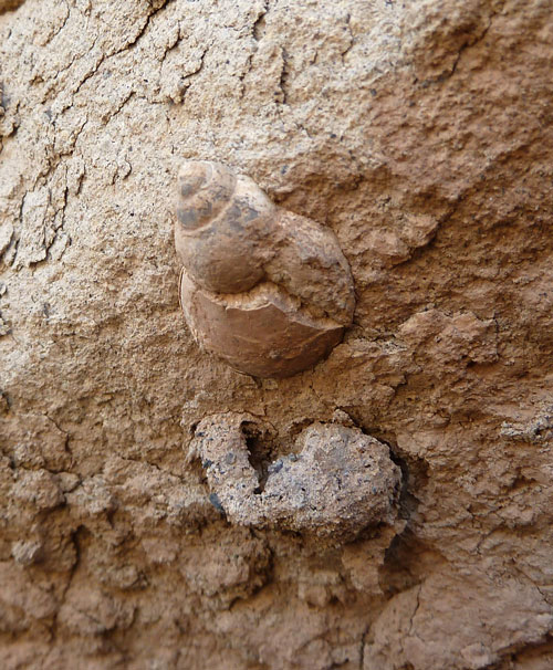 Fossil Snail shell in bank