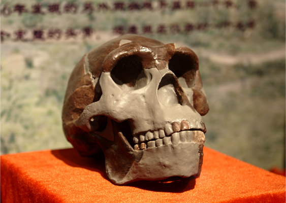 Replica of Peking Man Skull at Paleozoological Museum of China. Photo credit: Yan Li.