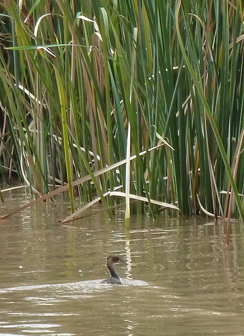 A shy Little Grebe darts for cover