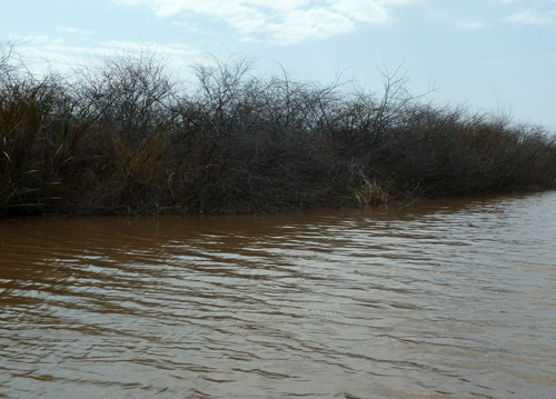 Prosopis dying back in the Kerio Delta
