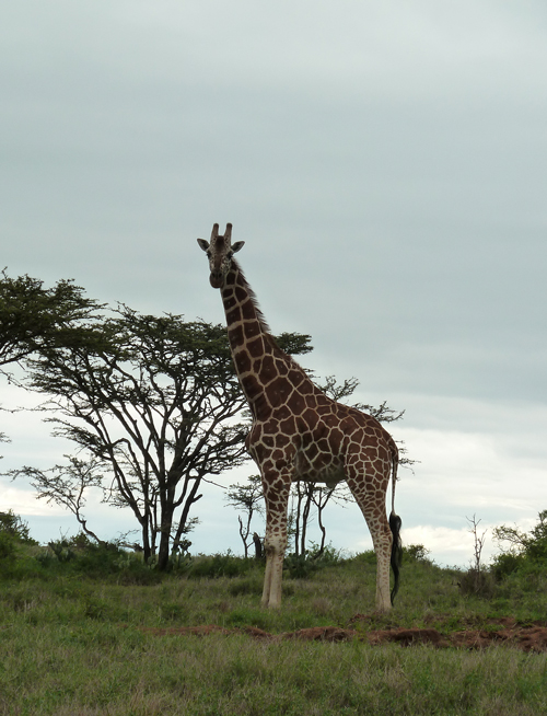 A Reticulated Giraffe watches us from the roadside