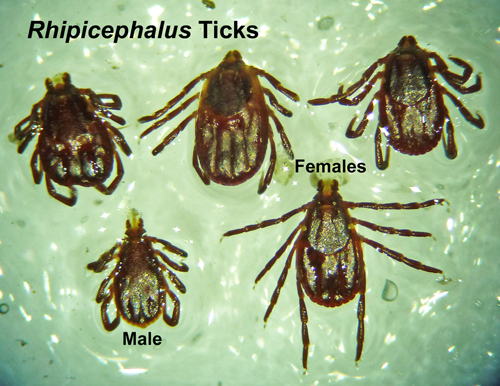 Close up of the Rhipicephalus ticks