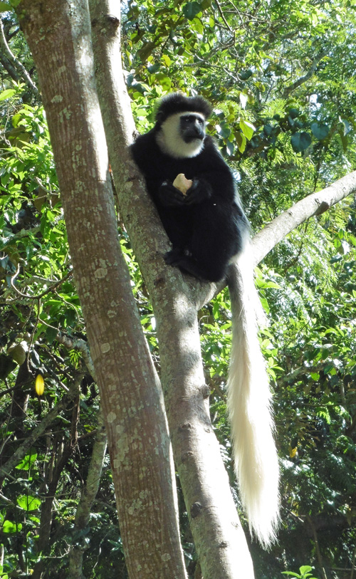 Colobus Monkey with stolen goodies