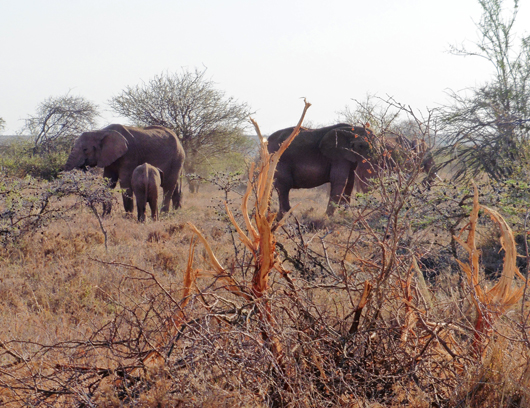 Elephants are true ecosystem engineers shaping the landscape!
