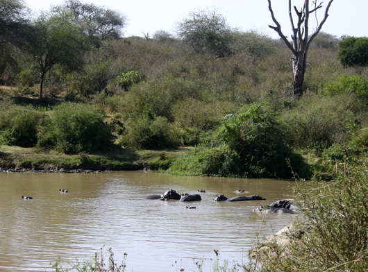 Hippos in the river!