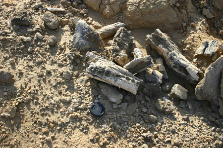 We found this pile of fossils but we don't think it all accumulated naturally in this exact spot.
