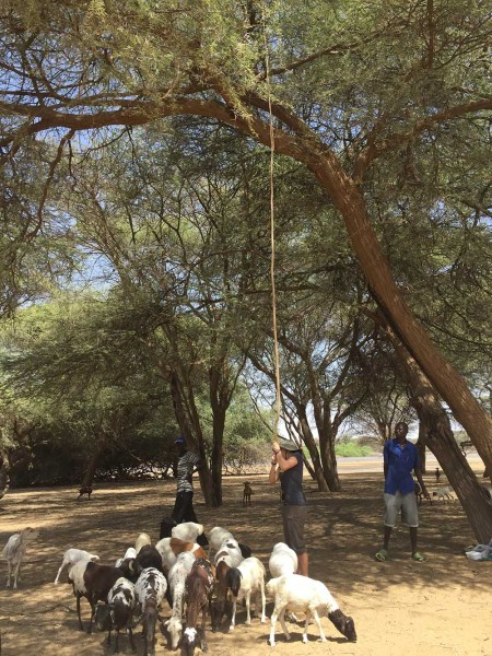 Jade is trying to shake some bean pods from an Acacia tree in order to attract more goats and catch the flies landing on them. Perhaps there is a relationship between flies on livestock and goat herders?