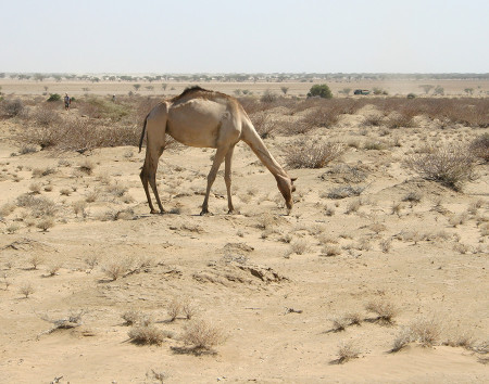 This camel reaches down towards an Indigofera plant.