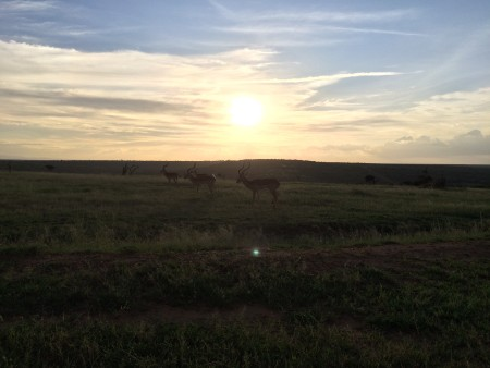 Impalas grazing near sunset
