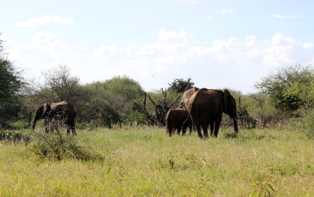 A family of elephants enjoys their meal of various plants in the red soil habitat. Note how much more sparse this area is due to grazing by large herbivores.