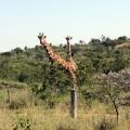 giraffelook_small
