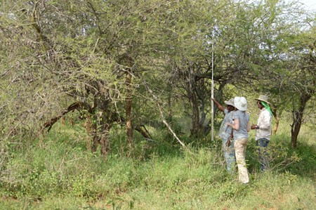 Students Tadele, Milena and Yemane measure the height of an acacia tree on their transect (Photo by Martha N. Mutiso).