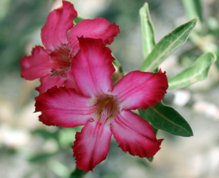 The desert rose flower. A stunningly beautiful pop of color in this desert landscape.