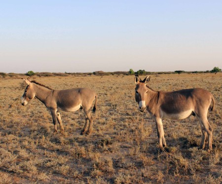 The bomas around TBI Ileret also keep donkeys - they are mostly used for transporting belongings long distances.