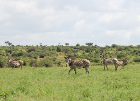 A family group of Grevy's zebra - male, females and juveniles.