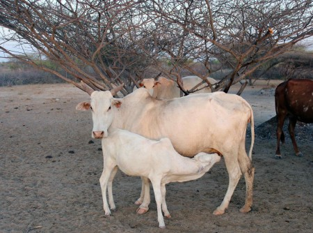 Pastoralists such as the Dassenitch have to regulate when juvenile animals can nurse, because they also need to collect the animals' milk for food.