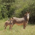 A mother and infant Grevy's zebra pose for a photo.