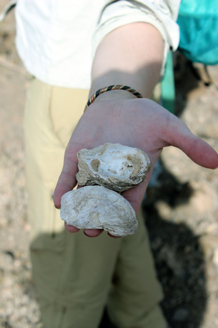 Kaitlin gives us an up-close view of the ancient Nile oysters.