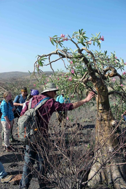 Rob checks out the sturdy, waxy bark of the desert rose tree.