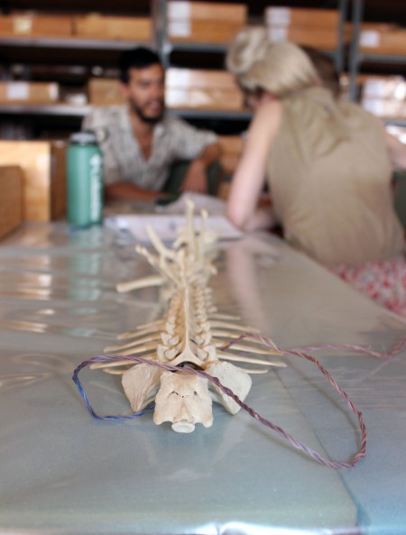 Complete spines of various animal species were available to students for comparison.