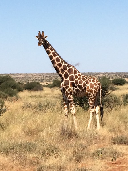On our way to Mukenya, we spotted a reticulated male giraffe who so kindly posed for some pictures.
