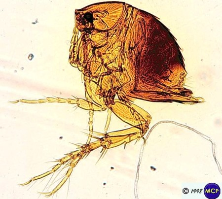 Tunga penetrans, more commonly known as a jigger or human flea.