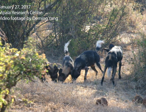 African wild dogs at Mpala Research Centre