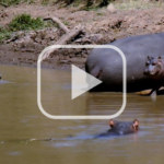 Hippos at Mpala Research Centre
