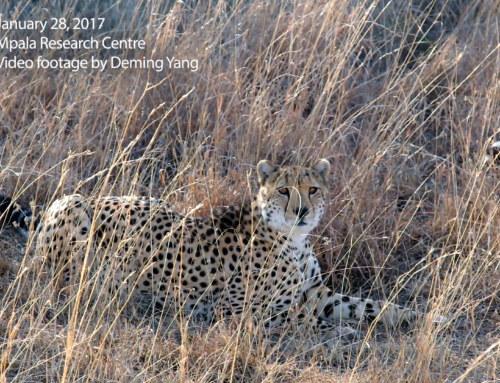 Cheetah at Mpala Research Centre