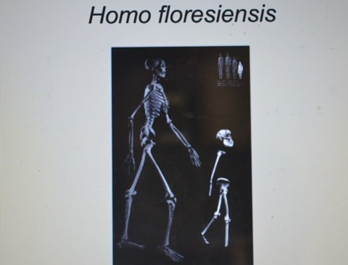 "homo floresiensis pathological modern human or Dean falk: fossil hobbits, homo floresiensis were deemed aberrant apes or pathological modern discoveries for rethinking the ""big picture"" of human."