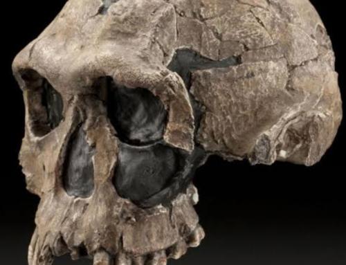 Understanding the evolution of our genus Homo